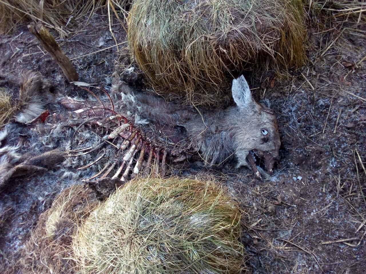 вбиті олені у президентському заповіднику 3