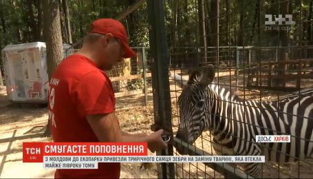 В харьковский зоопарк привезли трехлетнего самца зебры