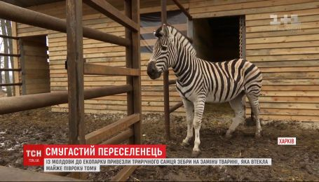 Харківський екопарк показав публіці зебру, яку туди доправили з Молдови