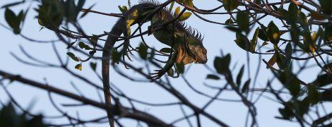 Ігуанопад: синоптики предупредили жителей Флориды о необычных осадках
