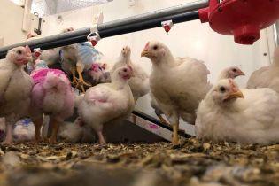 У Чехії виявили спалах високопатогенного пташиного грипу