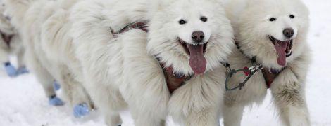 В Чехии проходят традиционные гонки в собачьих упряжках