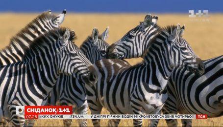 Почему зебры полосатые и что стоит знать об этих животных