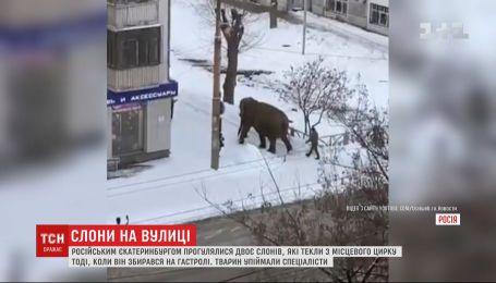 Бегали по городу и играли снегом: в Екатеринбурге слоны сбежали из цирка