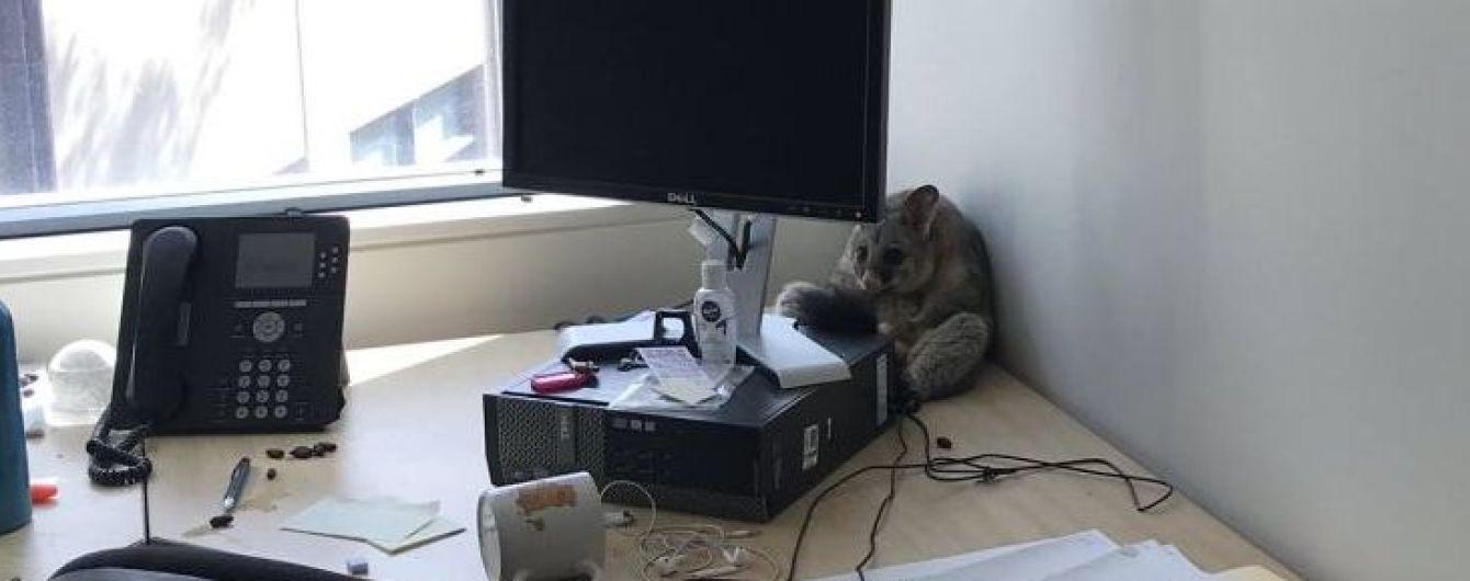 Мережа жартує про австралійського посума-бешкетника, який розгромив офіс і усівся у кутку