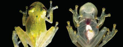 """В Боливии впервые за 18 лет нашли уникальных """"стеклянных лягушек"""", чье тело просвечивается насквозь"""