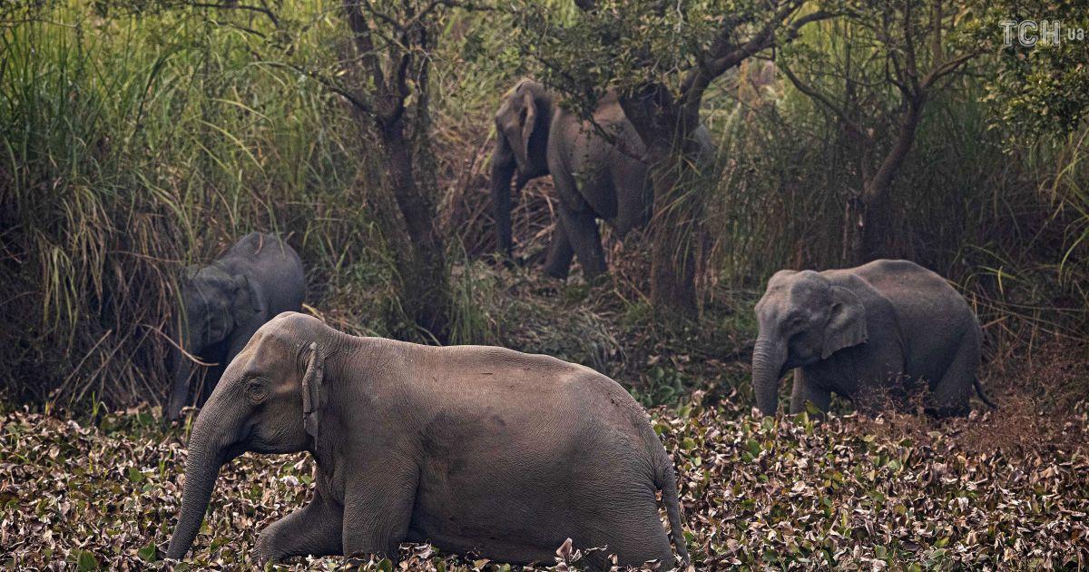 Дикі слони були змушені залишити свої домівки у пошуках Їжі. Тепер вони виходять близько до людей, щоб прохарчуватися. Місцеві мешканці виходять подивитися на цей процес, а лісники охороняють тварин від різних загроз.