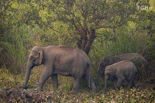У пошуках кращої долі. В Індії дикі слони змушені залишати свої домівки через брак їжі