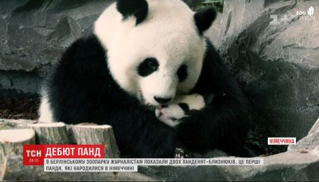 Маленьких панд-близнецов знакомит с посетителями зоопарк Берлина