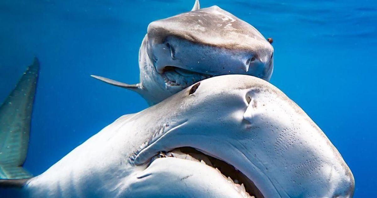 Великий білий монстр. Вчені виявили голову акули, що жила 330 млн років тому