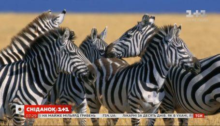 Уся правда про смужки зебри