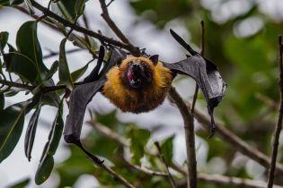 У спалаху нового коронавірусу звинувачують кажанів. Як їм вдається переносити убивчі хвороби і залишатись здоровими