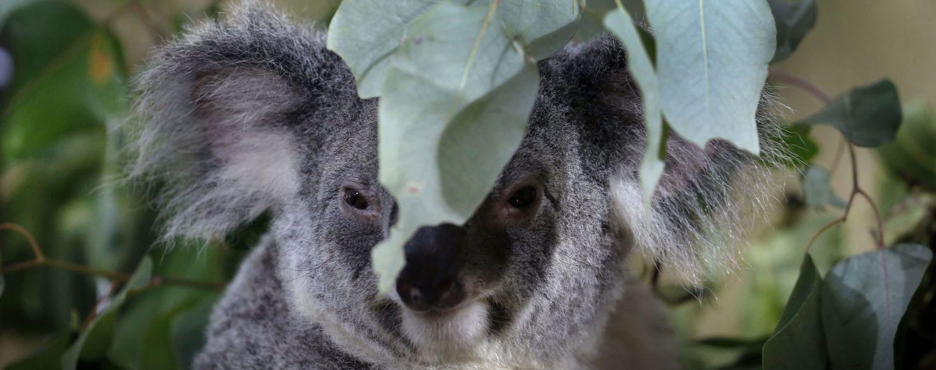 Канадцы отправили шесть самолетов с перчатками для обгоревших коал Австралии