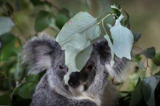 Канадійці відправили шість літаків з рукавичками для обгорілих коал Австралії