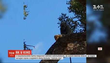 В национальном парке Южной Африки засняли, как бабуин украл львенка