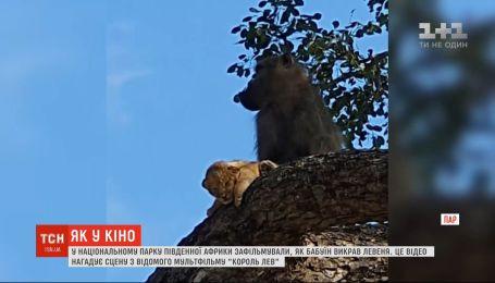 Как в кино: гид в ЮАР снял, как бабуин украл львенка