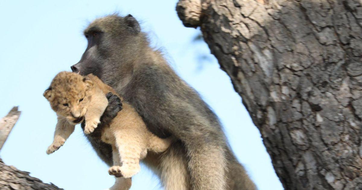 """Справжній """"Король лев"""". У ПАР павіан з сафарі-парку відтворив культову сцену з мультика"""