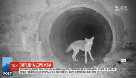 Камеры видеонаблюдения в Калифорнии зафиксировали необычную дружбу койота и барсука