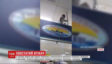 В Харькове обезьяна сбежала из контактного зоопарка и устроила дебош в магазине