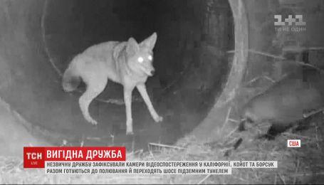 Дружба хищников: в Калифорнии камеры зафиксировали, как койот и барсук вместе готовятся к охоте