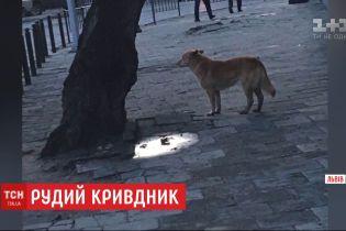 20 покусанных людей за две недели: рыжий пес терроризирует жителей Львова