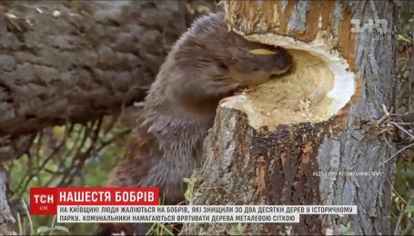 Массовое нашествие бобров уничтожает деревья в историческом парке в Киевской области