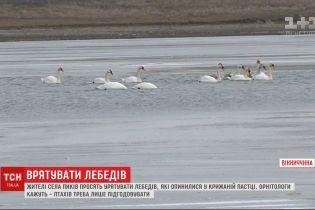 Селяни просять врятувати лебедів, які опинилися у крижаній пастці на річці