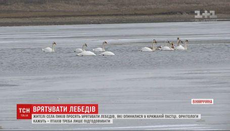 Селяне просят спасти лебедей, которые оказались в ледяной ловушке на реке