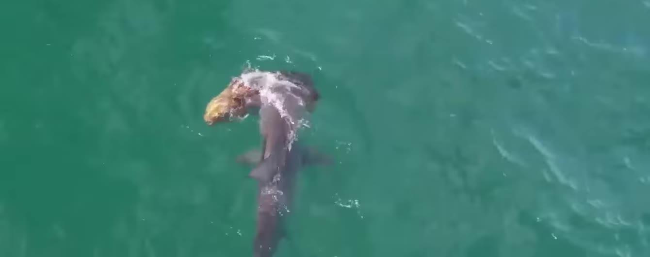 В США очевидец снял смертельное нападение разъяренной акулы-молота на гуасу