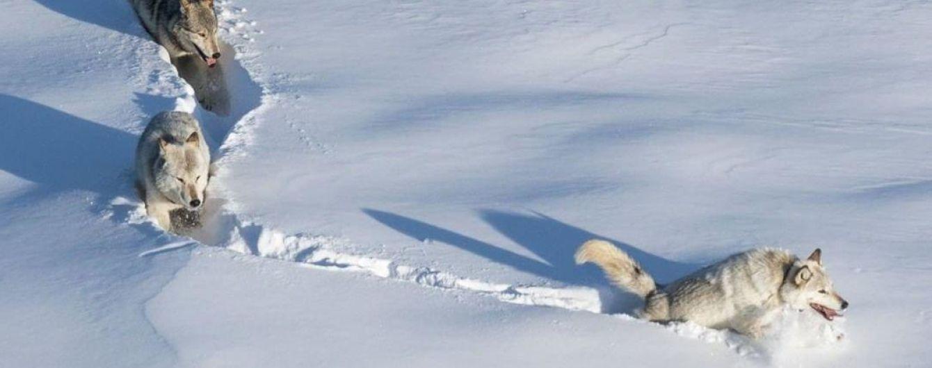 Зламали мем про вовчиська: хижак з легендарного фото виявився вовчицею