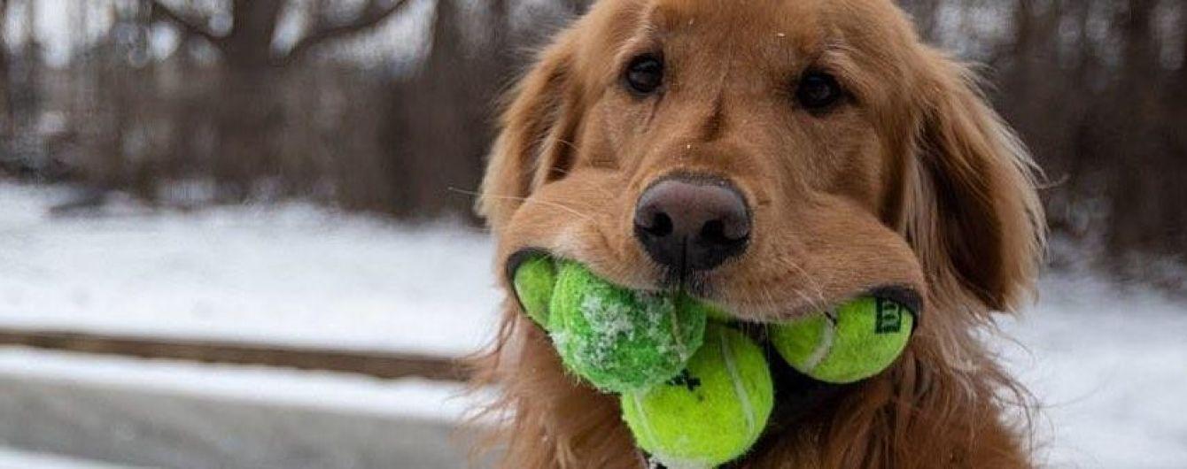 У США спритний пес зумів запхати до пащі шість тенісних м'ячиків