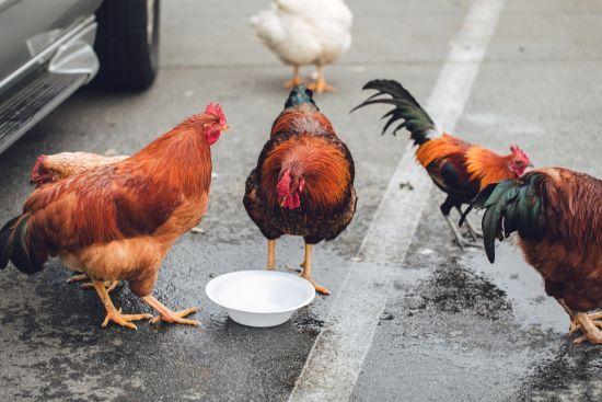 Казахстан тимчасово заборонив ввозити українську курятину
