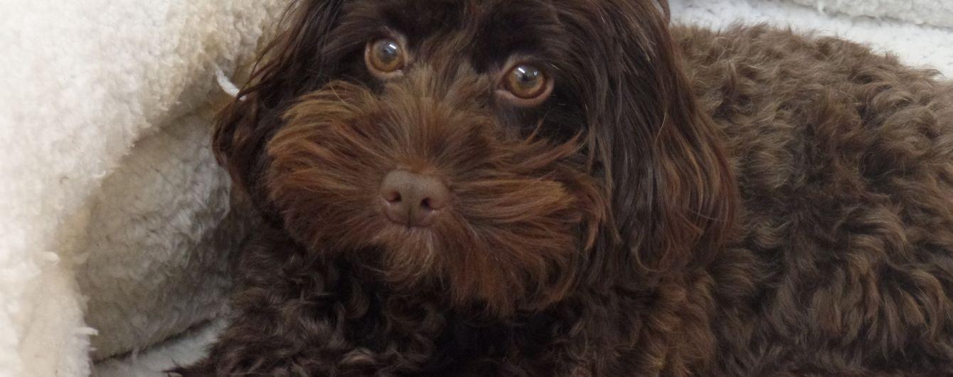 Мініатюрний пес врятував від смерті глуху британку та її бойфренда
