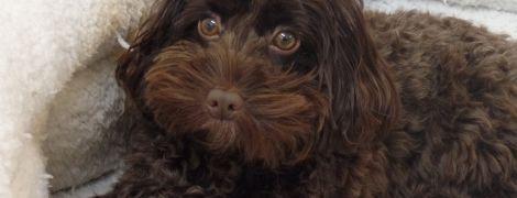 Миниатюрный пес спас от смерти глухую британку и ее бойфренда