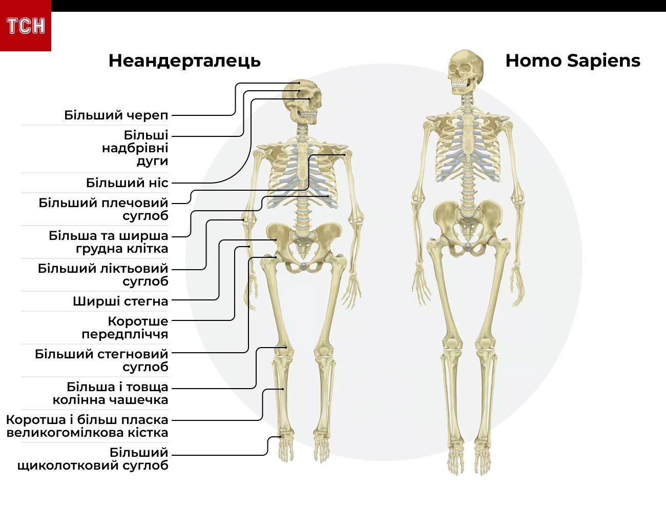 чим неандертальці відрізняються від Homo Sapiens інфографіка
