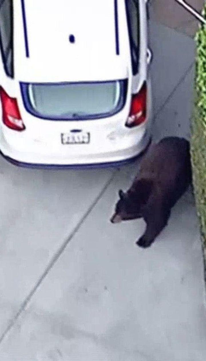 Медведица бродила по улицам американского городка и пугала людей