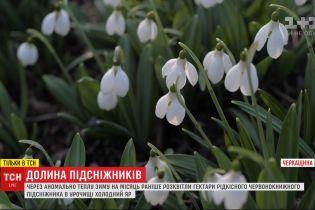 Краснокнижные подснежники расцвели в урочище Холодный Яр, что в Черкасской области