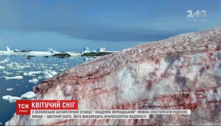 Рідкісне явище: сніг в Антарктиді став малинового кольору