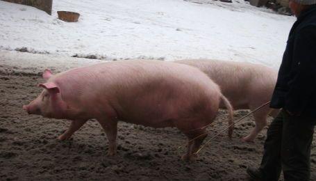 Фура с сотнями свиней разбился под Харьковом. Много животных погибло