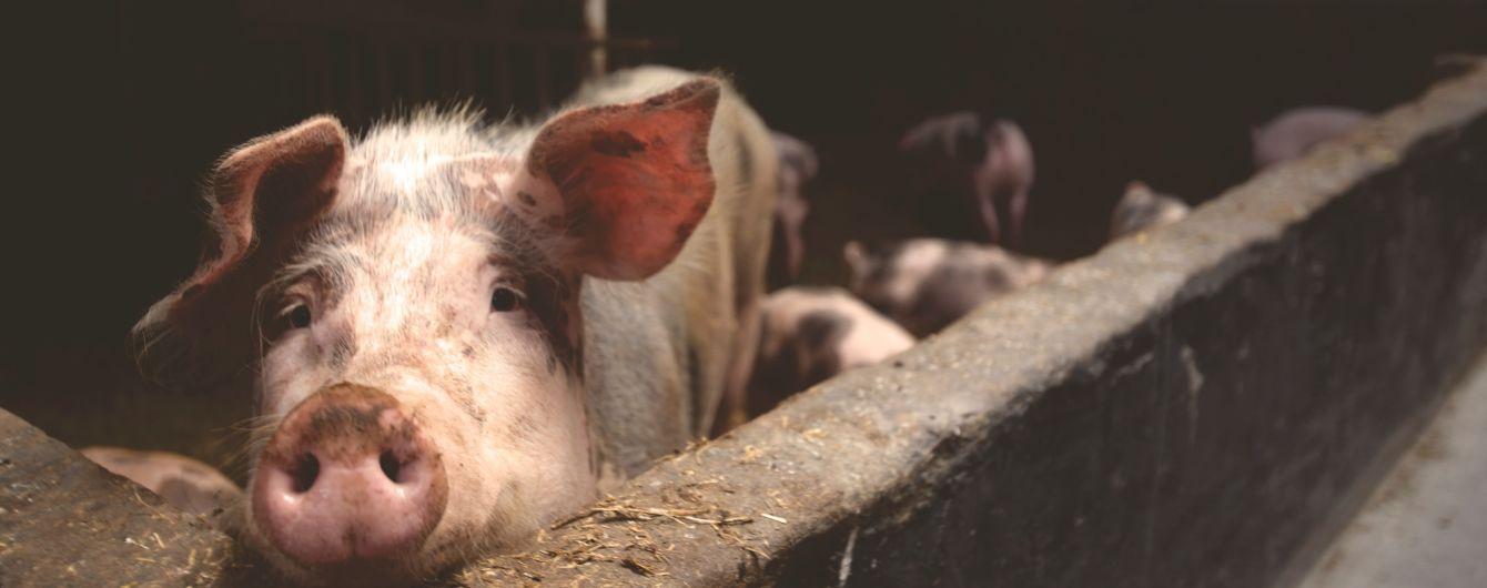 У Китаї виявили новий тип свинячого грипу, який може викликати пандемію