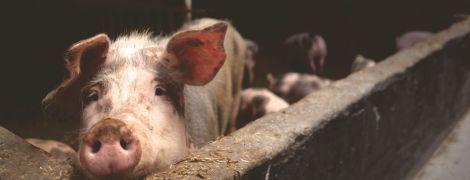 """""""Свинячий коронавірус"""" загрожує людям - нове дослідження"""