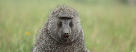 В Сиднее из больницы сбежал бабуин, которому должны были сделать вазэктомию