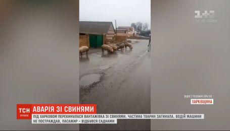Испуганные свиньи бегали по дороге под Харьковом из-за ДТП с участием грузовика