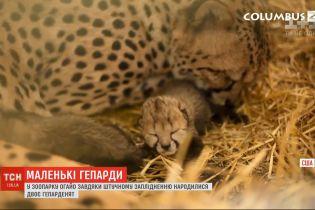 У зоопарку Огайо уперше в світі завдяки штучному заплідненню народилися двоє гепардів