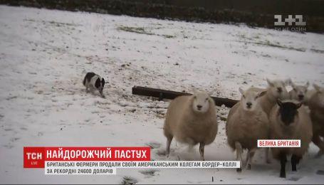 Найдорожча вівчарка у світі: фермери продали пса-пастуха за 24,5 тисячі доларів