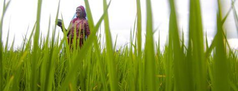 Плантации посреди океана: ученые научились выращивать рис в соленой воде
