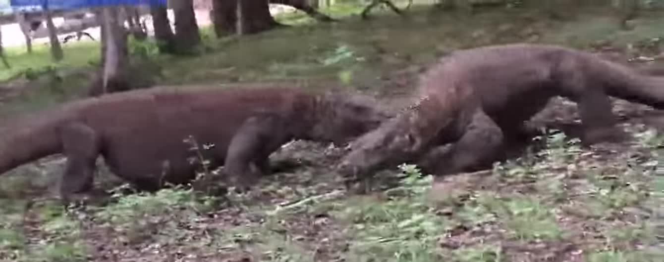 Четверо варанов устроили поединок в лесу и попали на видео