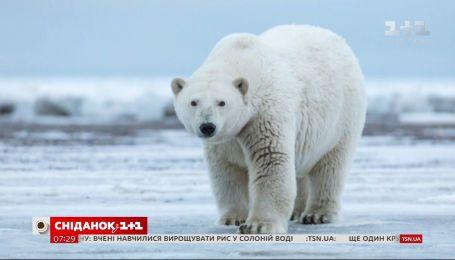 Интересные факт о полярном медведе – Популярная наука