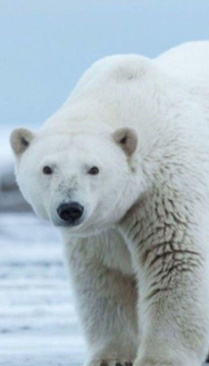 Цікаві факти про полярного ведмедя – Популярна наука