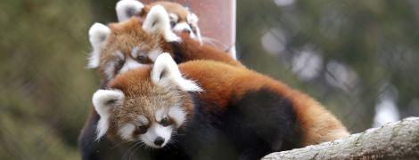 Учені дізналися, що червоні панди бувають двох видів